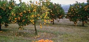 asian citrus pysllid huanglongbing-min