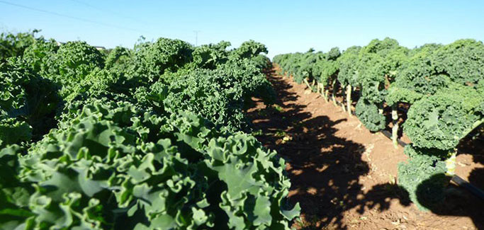 Kale in Temecula, CA, an epicenter of Local Food in Riverside County