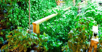 Urban Till Hydroponic Farm Produce