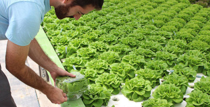 Packaging aquaponic lettuce at Solutions Farms in Vista, CA
